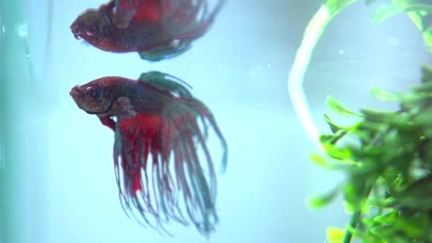 Betta variopinti pesci in acquario