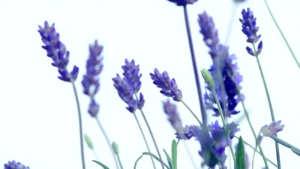 Növekvő levendula virág