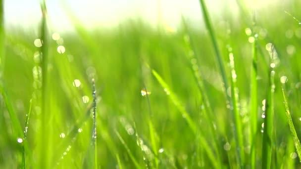 Tráva s kapkami rosy.