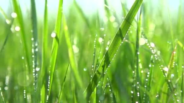 erba sfondo con gocce dacqua