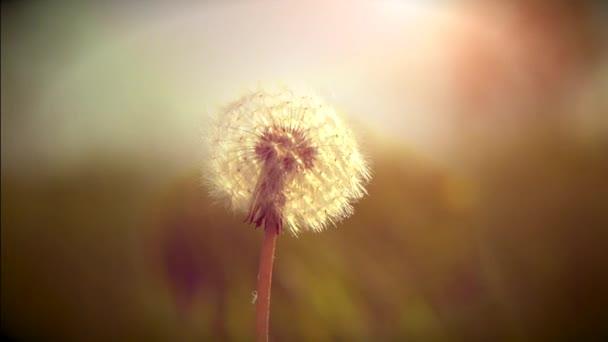 Pampeliška seedsin slunce