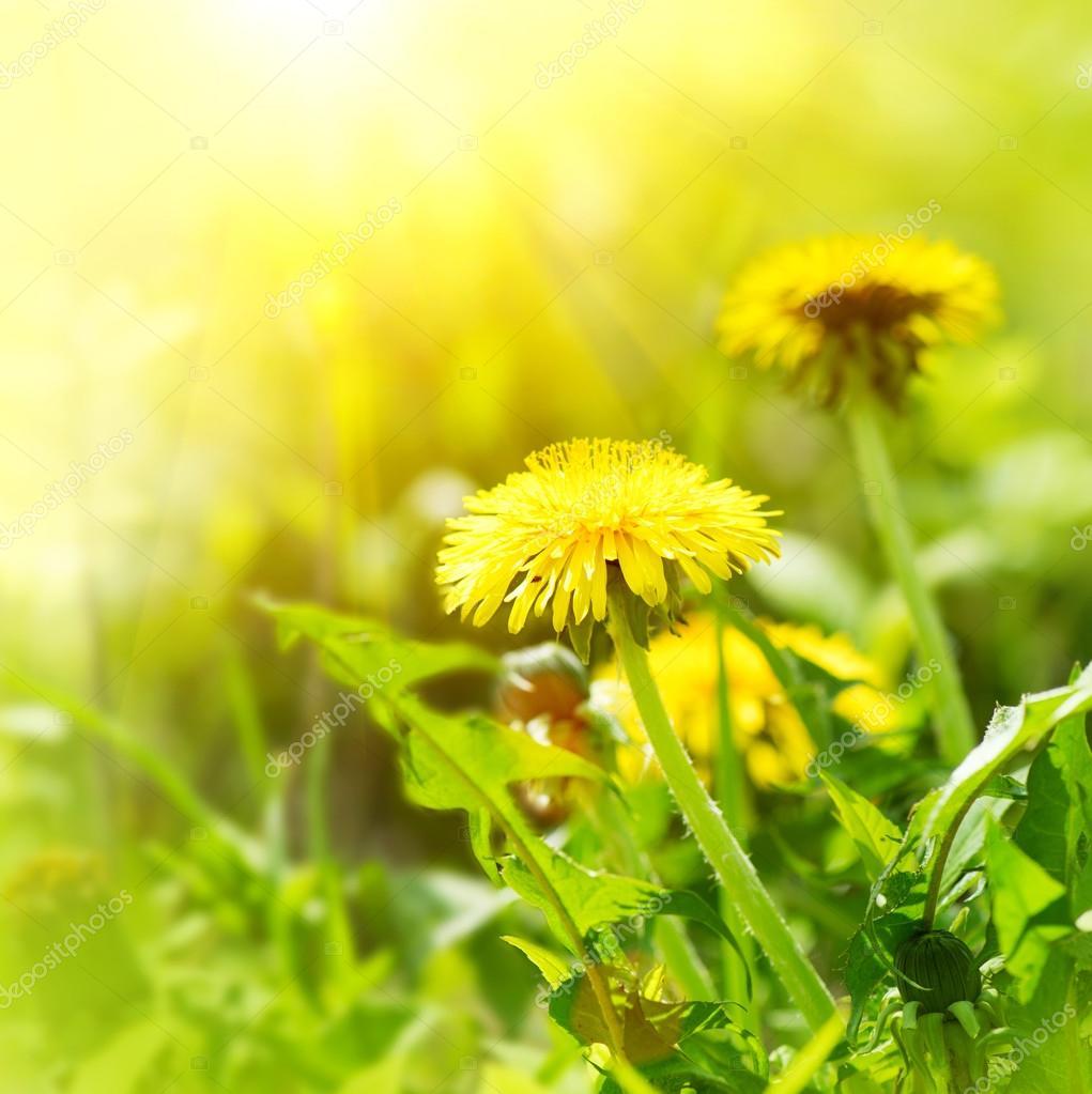 Dandelion flowers growing on field