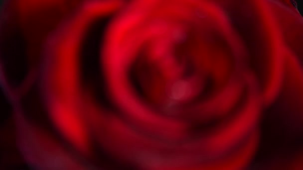 rote Rose aus nächster Nähe.