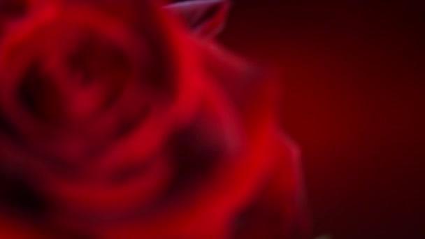 vörös rózsa virág közelről.