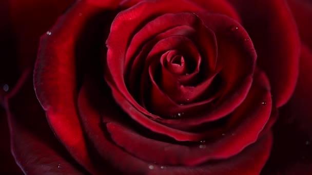 Red rose flower closeup