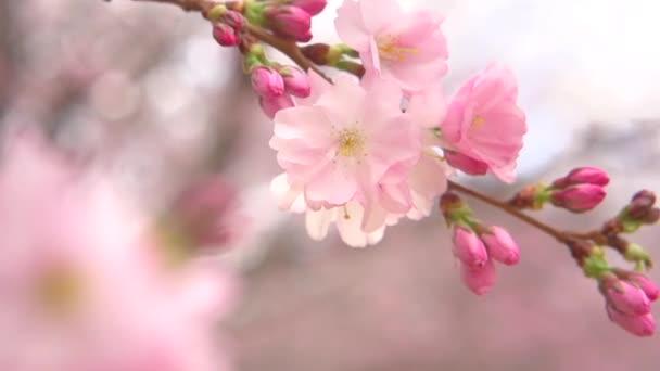 kvetoucí sakura s květinami