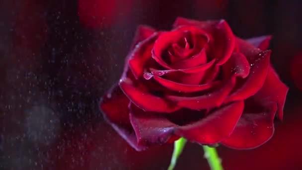 červená růže květina zavřít