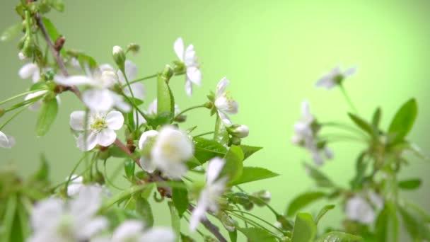 Jarní třešňový květ.