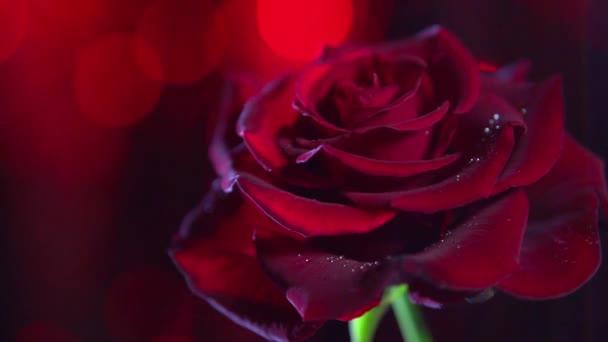 vörös rózsa virág közelről