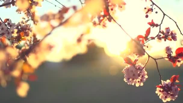 Sakura spring flowers.
