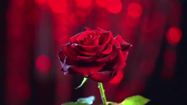 Červená růže květ tmavém pozadí.