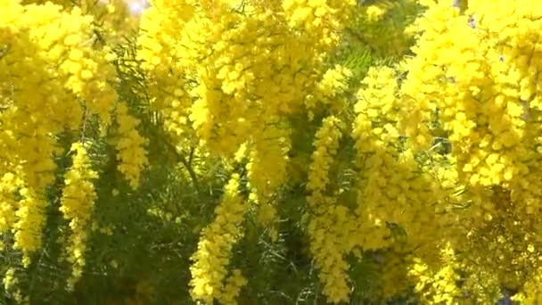 Mimosa spring flowers  background