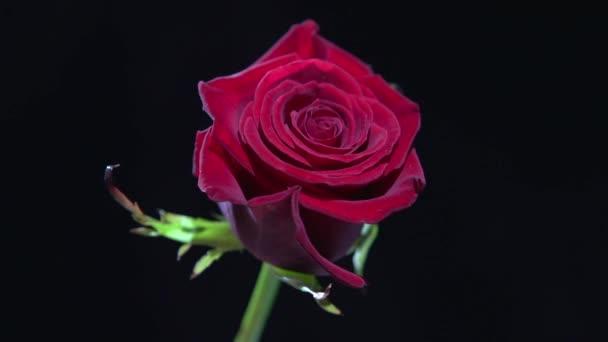Red rose with big petals
