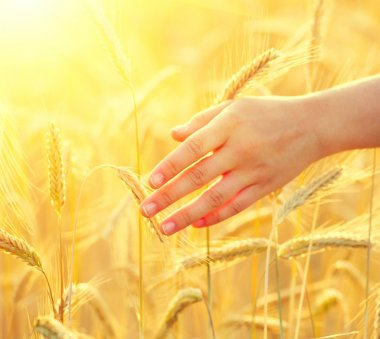 Girl's hand touching  wheat ears