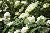 Keře bílé hortenzie v zahradě