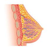 Fotografia Anatomia del seno isolato sul vettore bianco