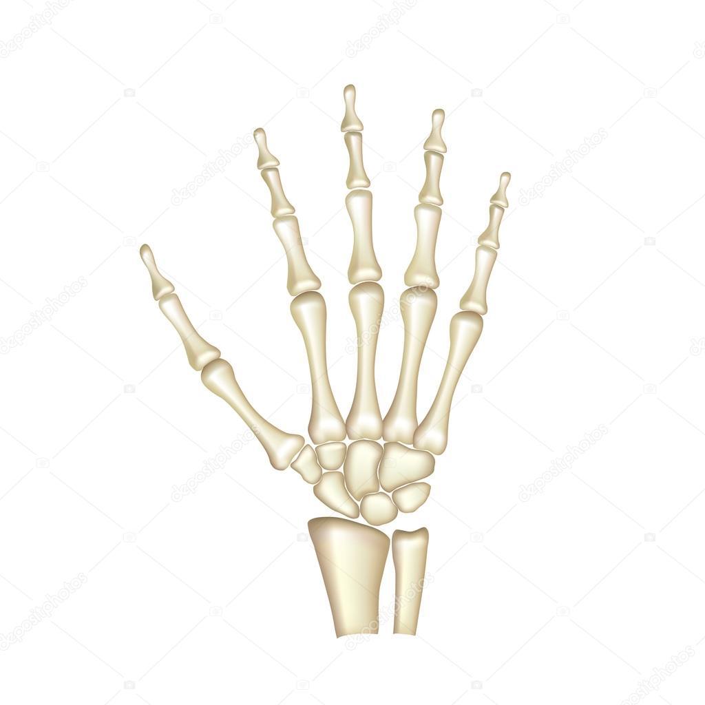 Menselijke hand botten anatomie geïsoleerd op witte vector ...