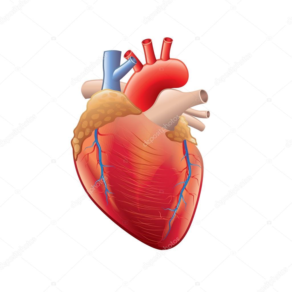 Anatomía del corazón humano aislado en blanco vector — Archivo ...