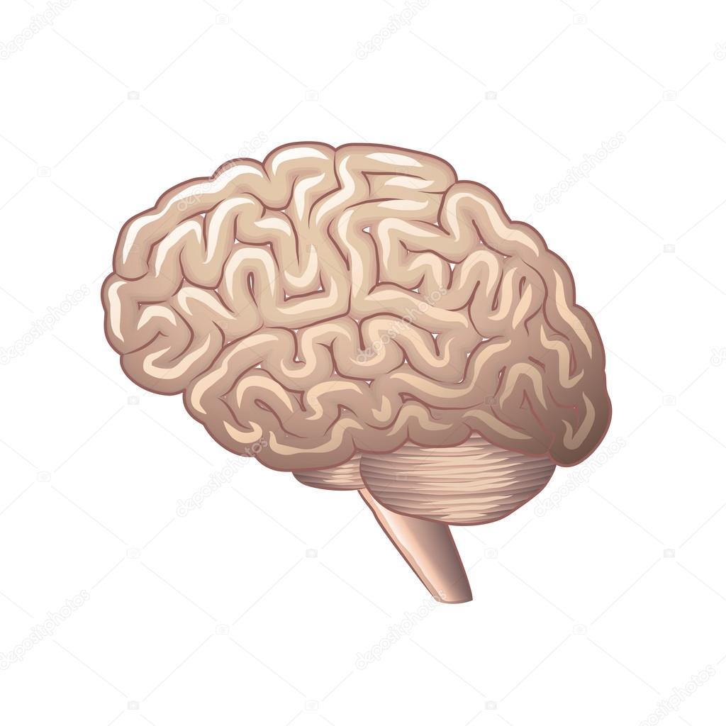 Anatomía del cerebro aislado en blanco vector — Archivo Imágenes ...