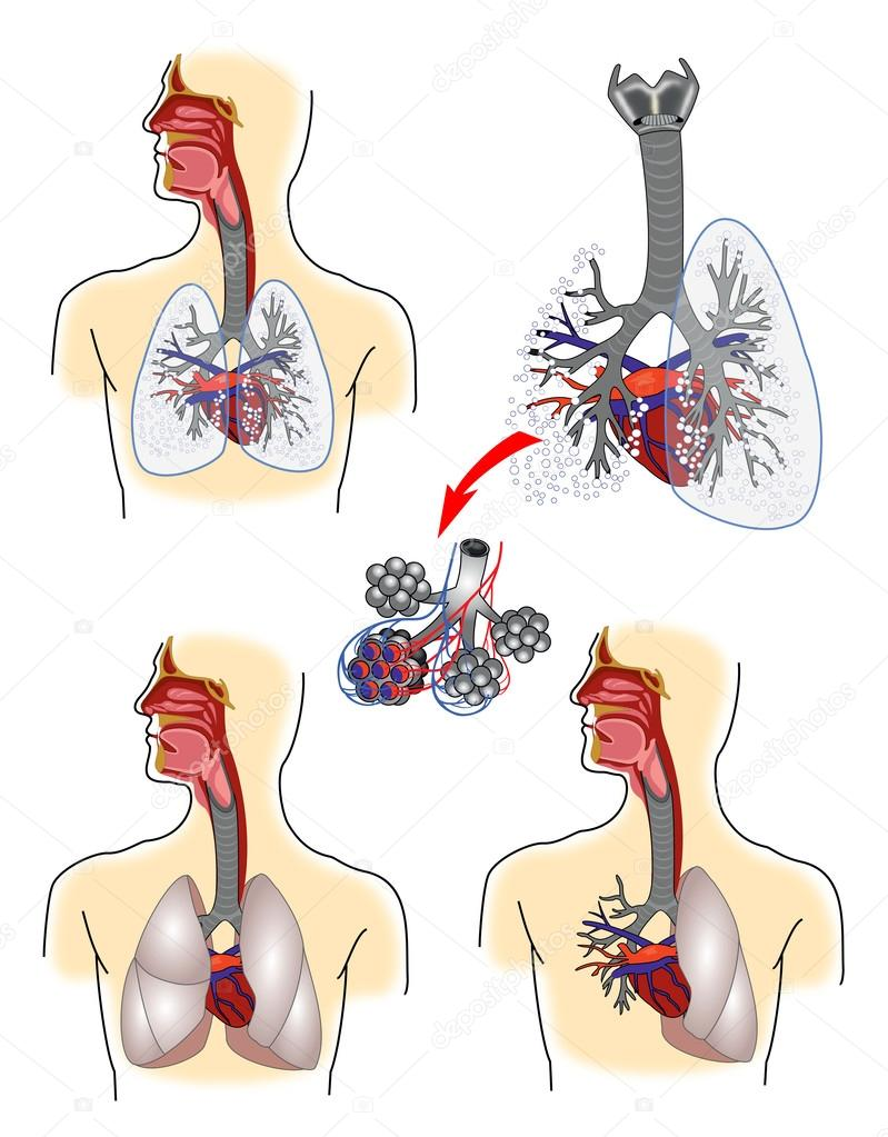 Respiratory System Anatomy Stock Vector Lanamaster 59717619