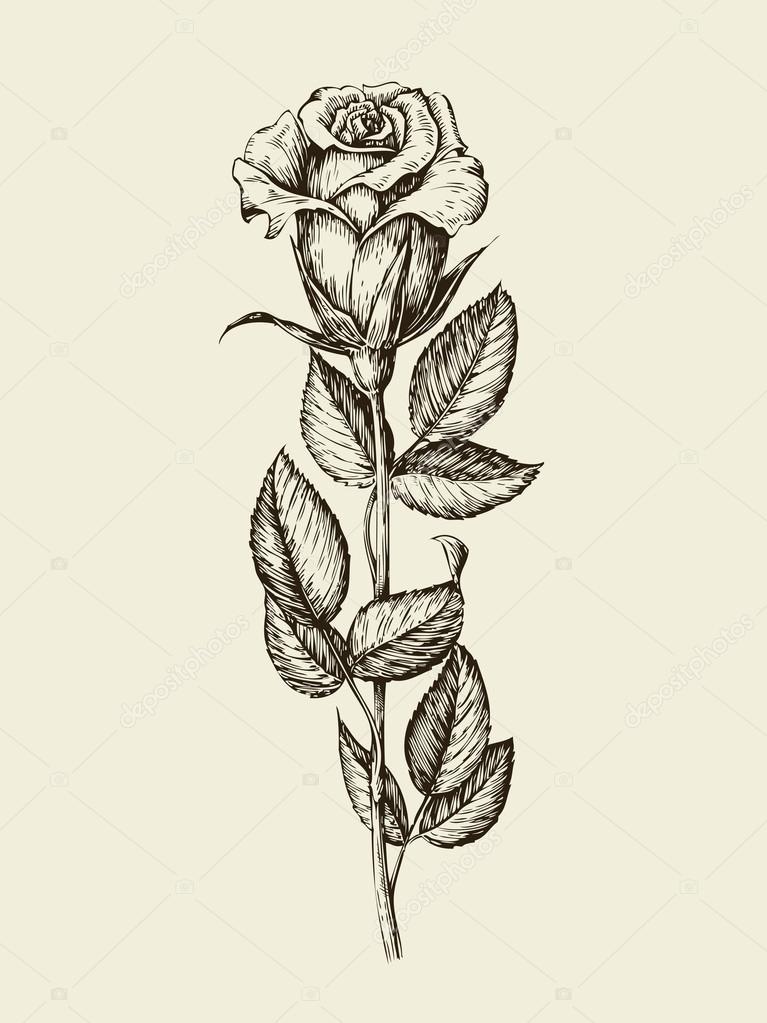 hand drawn vintage rose vector illustration stock vector