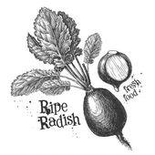 Photo radish on a white background. sketch