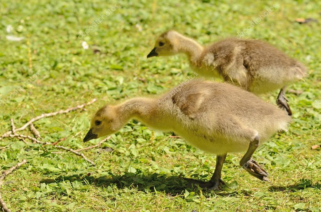 half off e223a 9e442 Baby-Gänse — Stockfoto © dpfoxfoto #58171905