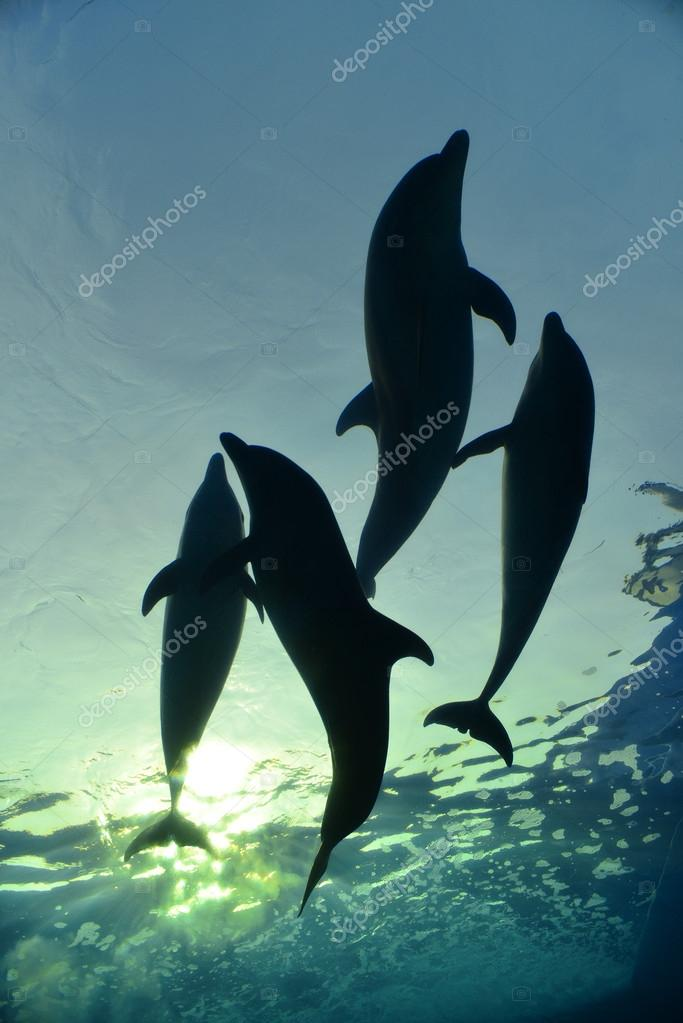 Dolphin family swimming