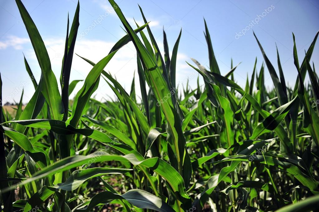 Corn field with young corn pests
