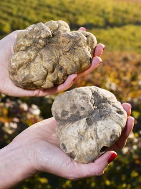 White truffles from Piedmont in the hands of a woman