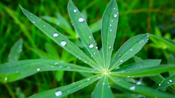 květ rostliny se zelenými listy s průhlednou kapkami Rosy na trávě pozadí