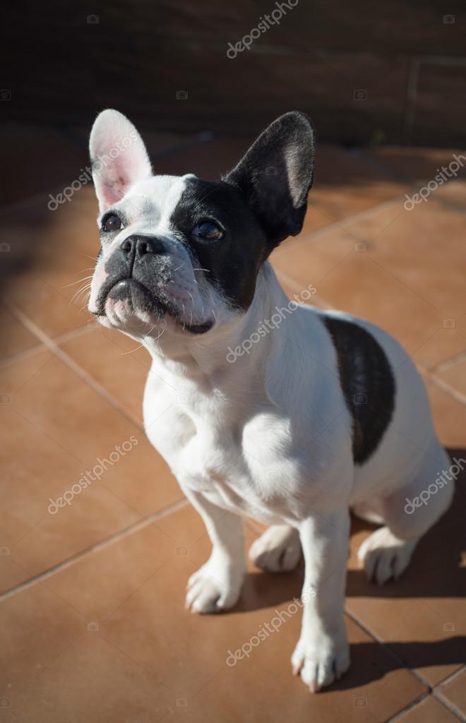 Feminino bulldog franc s fotografias de stock - Bulldog frances gratis madrid ...