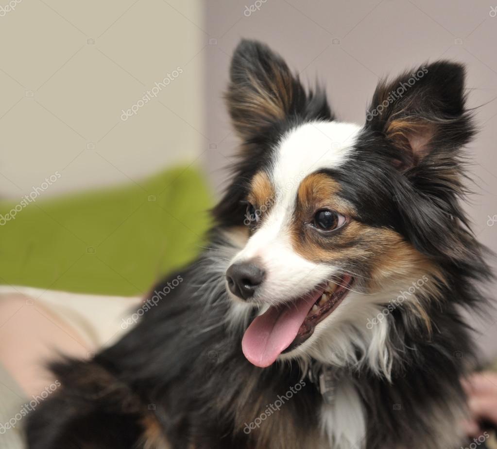 Close Up of Australian Shepherd Dog