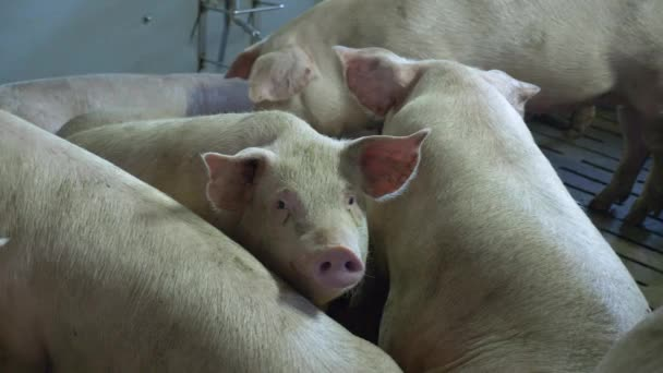 Medium-sized pigs eat and rest on a pig farm