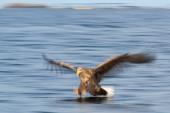 Seeadler (Haliaeetus albicilla) auf Wasserjagd, Flatanger, Nord-Trndelag, Norwegen, Europa