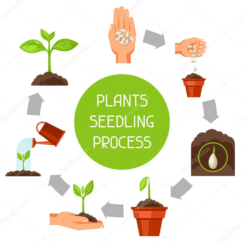 Seedling infographics with phases of plant growth. Image for advertising booklets, banners, flayers and articles