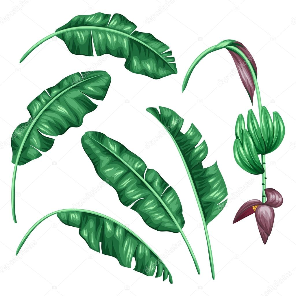 Set of stylized banana leaves. Decorative image with tropical foliage, flowers and fruits. Objects for decoration, design on advertising booklets, banners, flayers