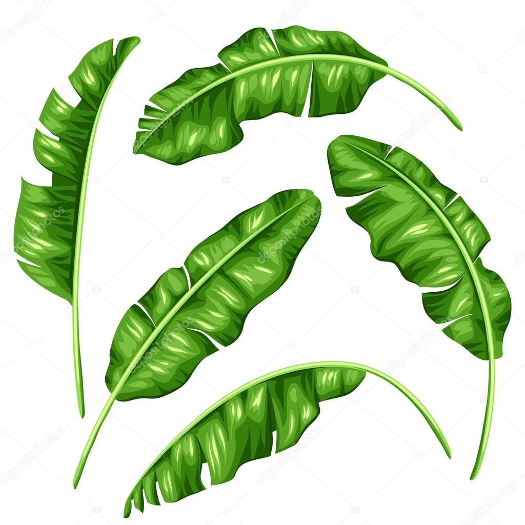 conjunto folhas de bananeira imagem de folhagem tropical leaf vector clip art leaf vector icon