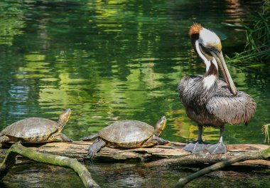 Pair of turtles and a Pelican