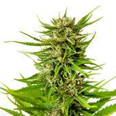 Photo Marijuana bud isolated on white background