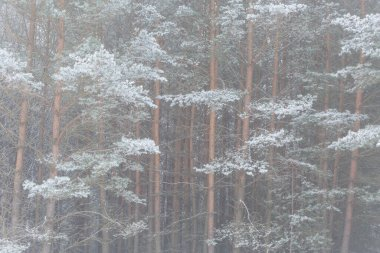 Frost covered pine woodland in Turiec region, Slovakia.