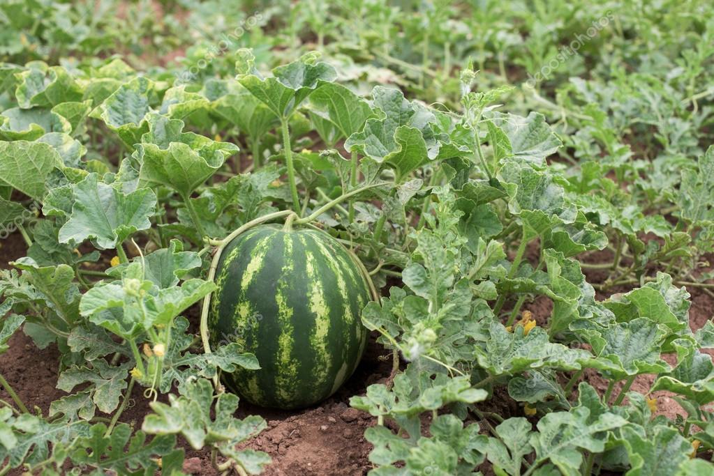 vodn meloun rostliny v zahrad stock fotografie tchara 118760662. Black Bedroom Furniture Sets. Home Design Ideas