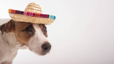 Portrait of a Jack Russell Terrier dog wearing a sombrero on a white background