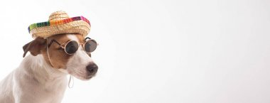 Portrait of doggy jack russell terrier dressed in sunglasses and sombrero on a white background. Widescreen