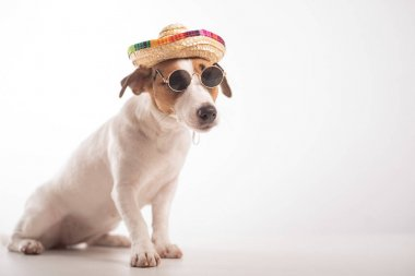 Portrait of doggy jack russell terrier dressed in sunglasses and sombrero on a white background