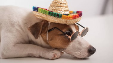 Jack russell terrier dog portrait wearing sunglasses and sombrero.