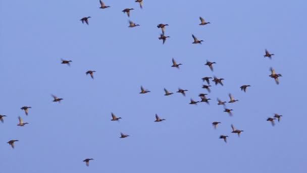 divoké kachny v dunajské deltě
