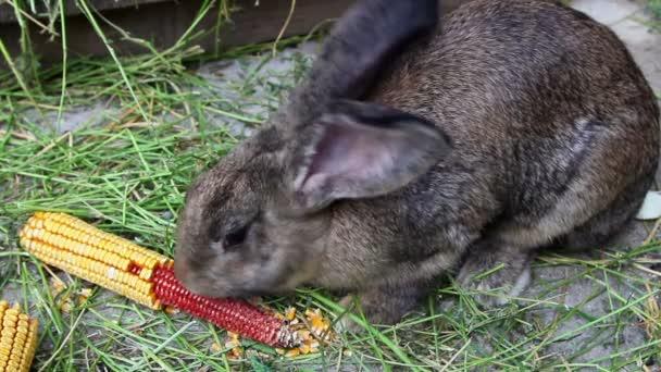 Brown rabbit eating corn