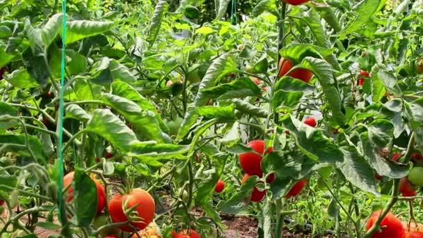 rajčata roste v rostlinných skleníkových