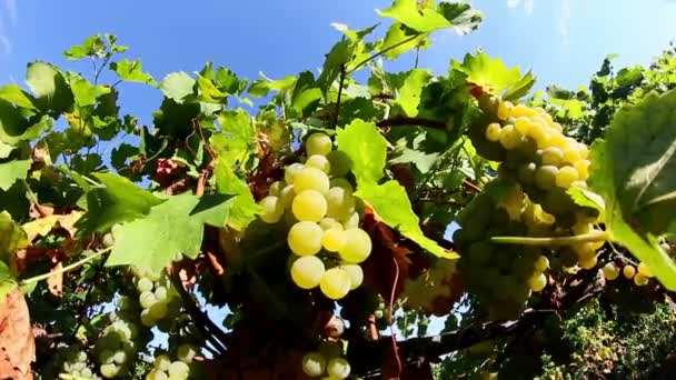 Grapes Before Harvest